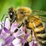 Honeybees is a huge factor to crop yield